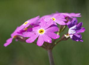Bild: Mehl Primel Bluete rosa Primula farinosa