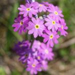 Mehl Primel Bluete rosa Primula farinosa 06