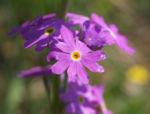 Mehl Primel Bluete rosa Primula farinosa 07