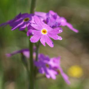 Mehl Primel Bluete rosa Primula farinosa 08