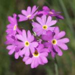 Mehl Primel Bluete rosa Primula farinosa 09