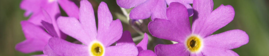 mehlprimel-bluete-rosa-primula-farinosa