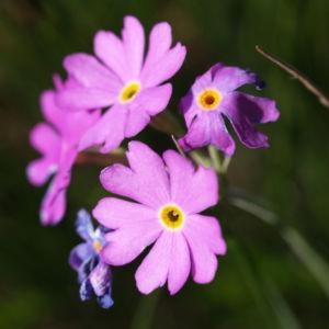 Mehl Primel Bluete rosa Primula farinosa 10