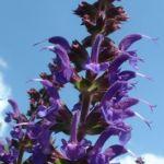Mehl Salbei Salvia farinacea 03