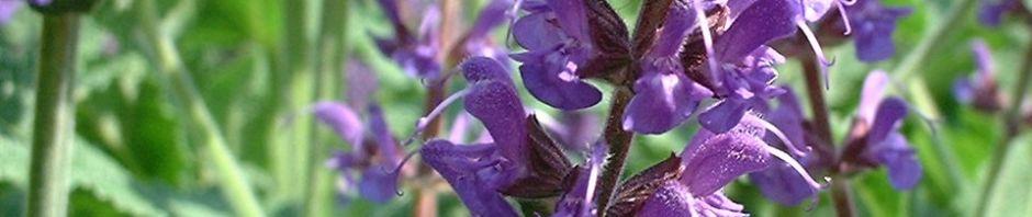 mehl-salbei-bluete-lila-salvia-farinacea