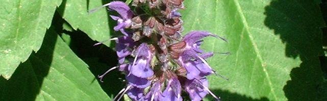Anklicken um das ganze Bild zu sehen Mehl Salbei Blüte lila Salvia farinacea