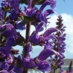 Mehl Salbei Salvia farinacea 06