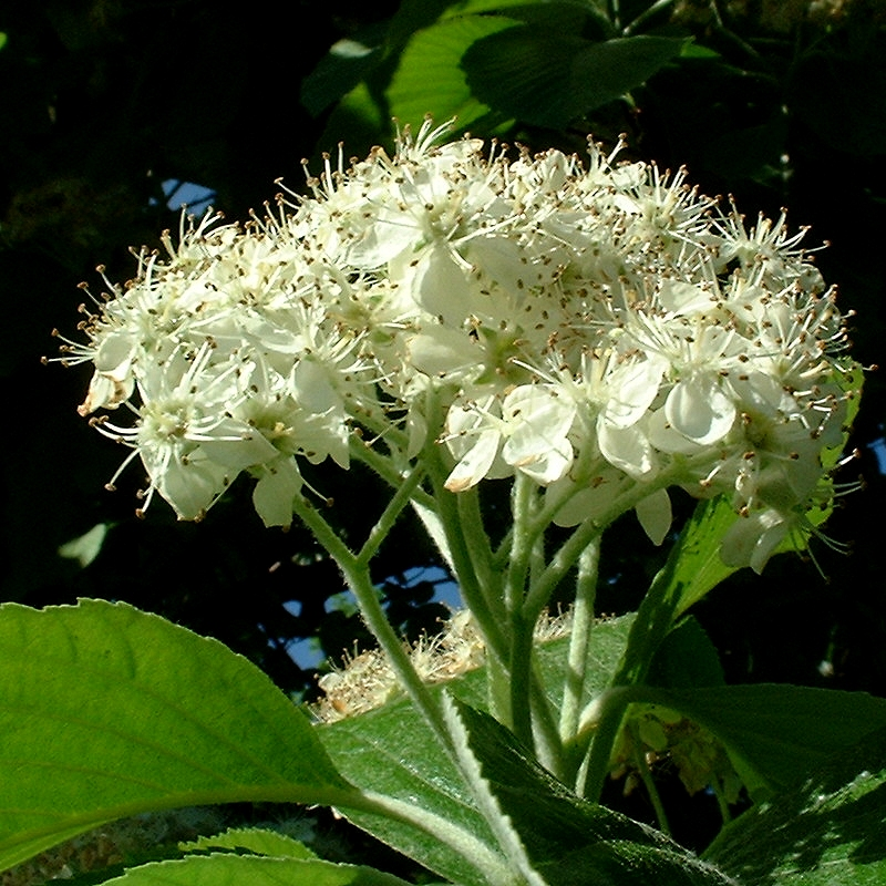 Mehlbeere Sorbus aria