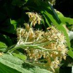 Bild: Echte Mehlbeere Blüte weiß Sorbus aria