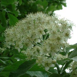 Mehlbeere Sorbus aria 06