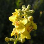 Mehlige Koenigskerze Bluetenstand gelb Verbascum lychnitis 01