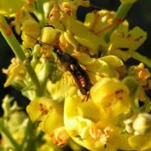 Bild: Mehlige Koenigskerze Bluetenstand gelb Verbascum lychnitis