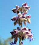 Bild: Silber-Perowskie Blüte lila Perovskia atriplicifolia