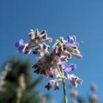 Meldenblaettrige Perovskie Bluete lila Perovskia atriplicifolia 04