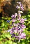 Meldenblaettrige Perovskie Bluete lila Perovskia atriplicifolia 05