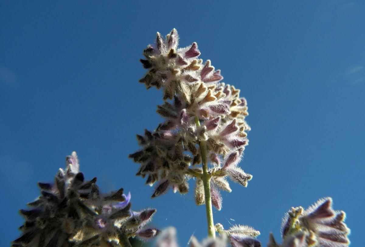 Meldenblaettrige Perovskie Bluete lila Perovskia atriplicifolia