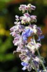 Meldenblaettrige Perovskie Bluete lila Perovskia atriplicifolia 06