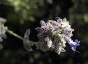 Meldenblättrige Perovskie Blüte lila Perovskia atriplicifolia