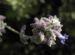 Zurück zum kompletten Bilderset Meldenblättrige Perovskie Blüte lila Perovskia atriplicifolia