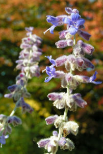 Meldenblaettrige Perovskie Bluete lila Perovskia atriplicifolia 08
