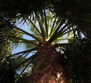 Mexikanische Washingtonpalme Fächer grün Washingtonia robusta 04