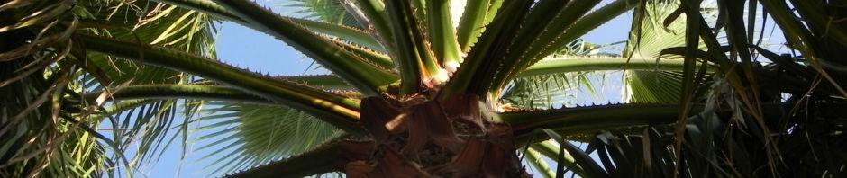 mexikanische-washingtonpalme-faecher-gruen-washingtonia-robusta