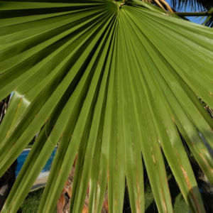Mexikanische Washingtonpalme Fächer grün Washingtonia robusta 11