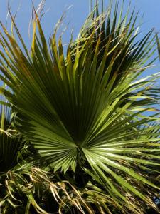 Mexikanische Washingtonpalme Fächer grün Washingtonia robusta 12