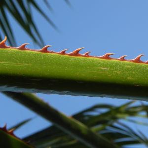 Mexikanische Washingtonpalme Fächer grün Stachel braun Washingtonia robusta 13