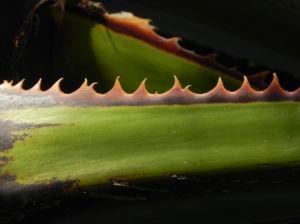 Mexikanische Washingtonpalme Fächer grün Washingtonia robusta 15