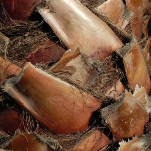 Mexikanische Washingtonpalme Stamm braun Washingtonia robusta 02