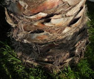 Mexikanische Washingtonpalme Stamm braun Washingtonia robusta 03