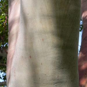 Mexikanischer Erdbeer Baum Blatt gruen Bluet weiss Frucht orange Arbutus glandulosa 02