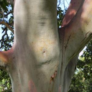 Mexikanischer Erdbeer Baum Blatt gruen Bluet weiss Frucht orange Arbutus glandulosa 03