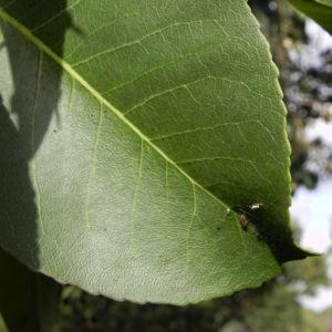 Mexikanischer Erdbeer Baum Blatt gruen Bluet weiss Frucht orange Arbutus glandulosa 12