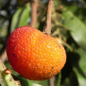 Mexikanischer Erdbeer Baum Blatt gruen Bluet weiss Frucht orange Arbutus glandulosa 17