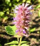 Mexikanischer Ysop Bluete lila Agastache foeniculum 03