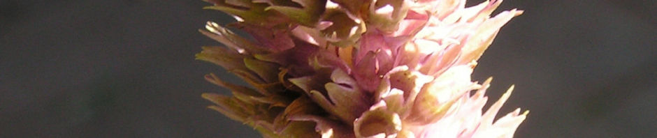anis-riesenysop-bluete-lila-agastache-foeniculum