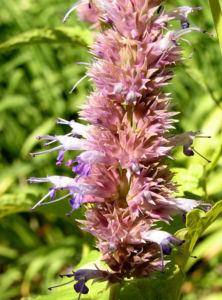 Mexikanischer Ysop Bluete lila Agastache foeniculum 05