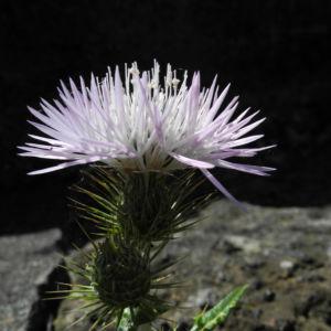 Milchfleck Distel Bluete weiß pink Galactites tomentosus 09