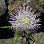 Milchfleck Distel Bluete weiß pink Galactites tomentosus 12