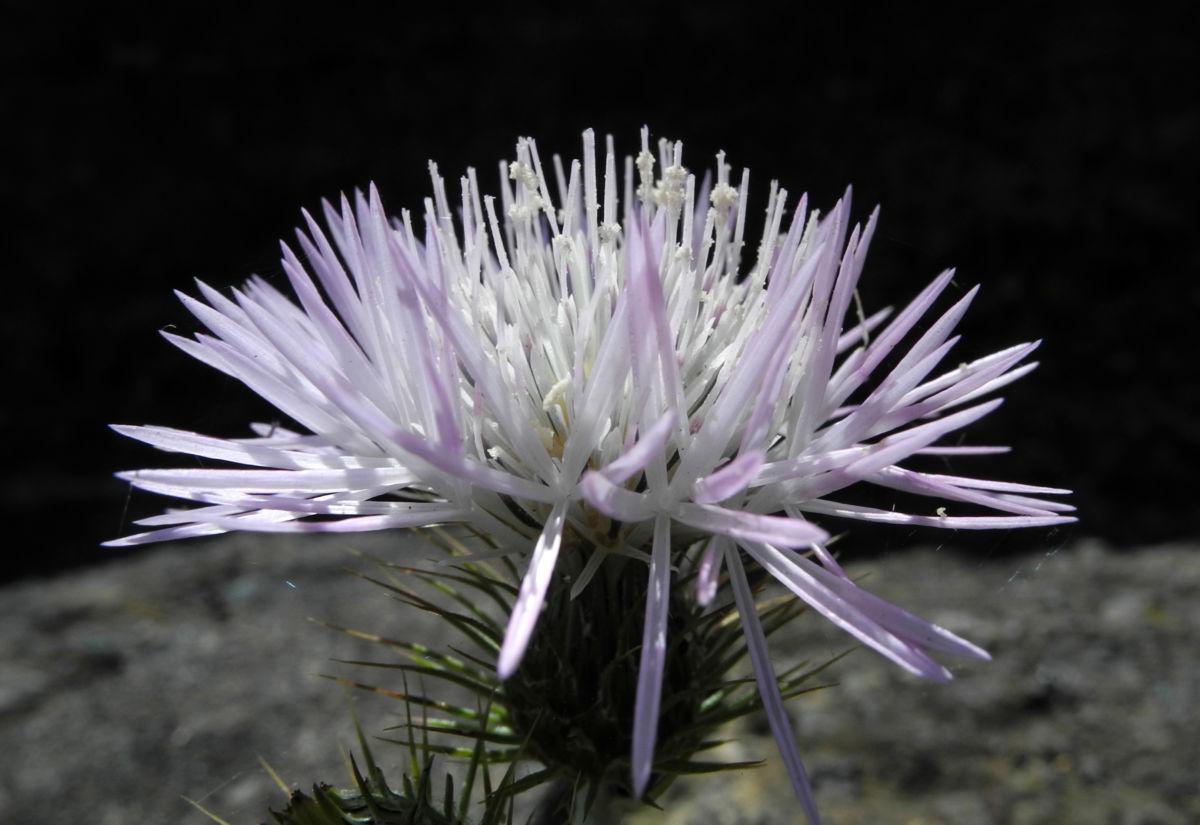 Milchfleck Distel Bluete weiß pink Galactites tomentosus