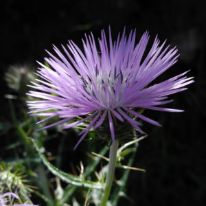 Milchfleck Distel Bluete weiß pink Galactites tomentosus 15