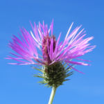 Milchfleckdistel-Bluete-pink_Galactites-tomentosa01