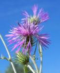 Milchfleckdistel Bluete pink Galactites tomentosa 02