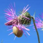 Milchfleckdistel Bluete pink Galactites tomentosa 03