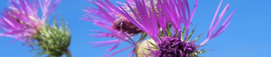 Anklicken um das ganze Bild zu sehen Milchfleckdistel Blüte pink Galactites tomentosa