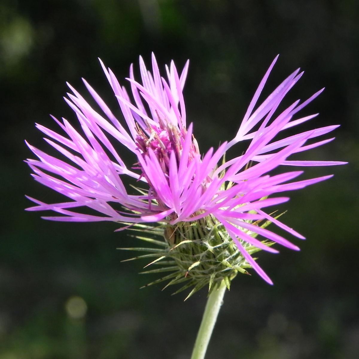 Milchfleckdistel Bluete pink Galactites tomentosa