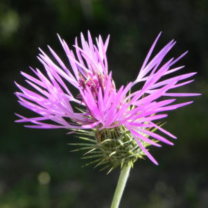 Milchfleckdistel Bluete pink Galactites tomentosa 06