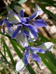 Milchweisse Schwertlilie Bluete Iris lactea 03